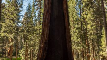 Sequoia National Park, California, USA. Huge sequoia three. Size prospective