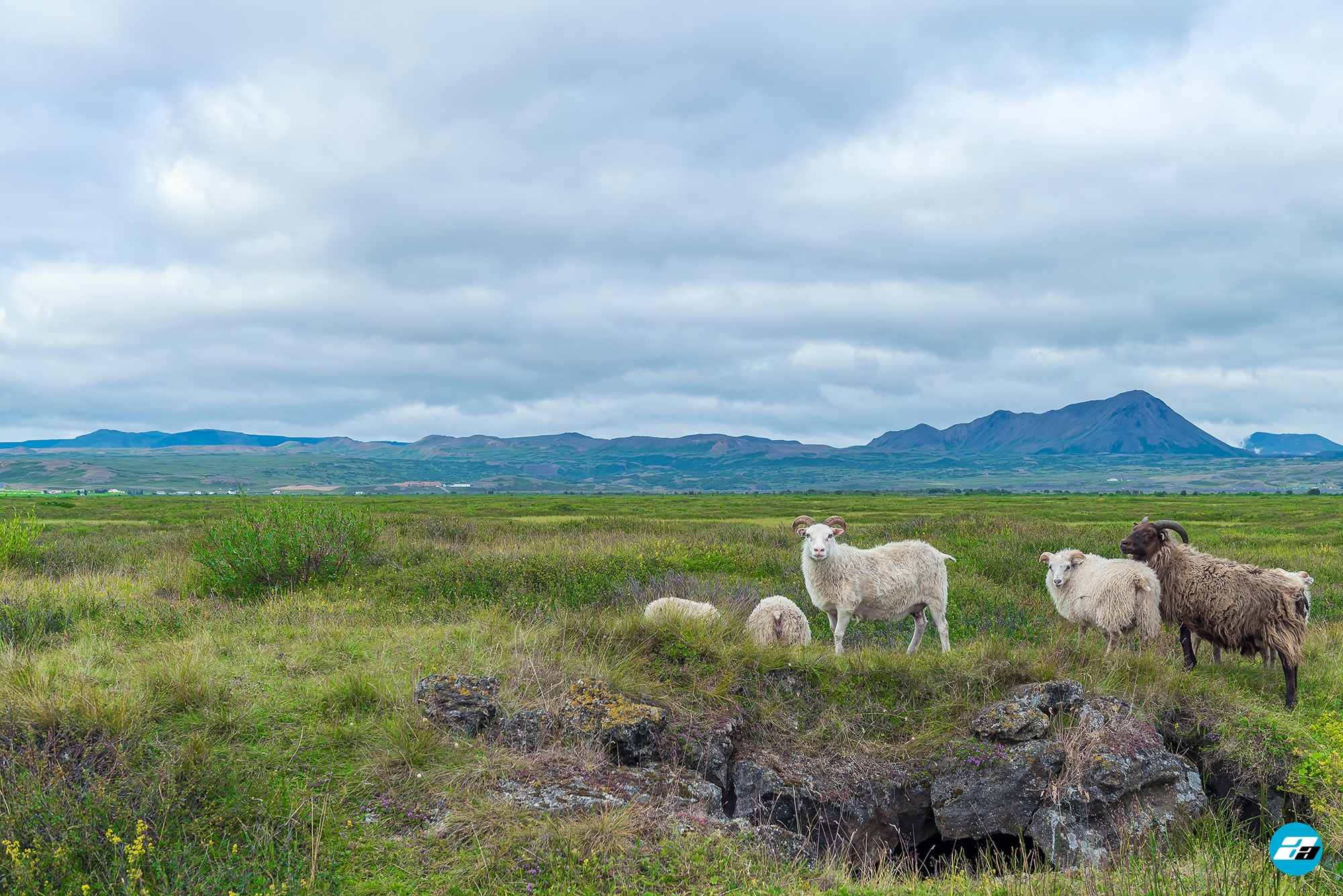 Iceland Travel, Ring Road, Icelandic Sheep